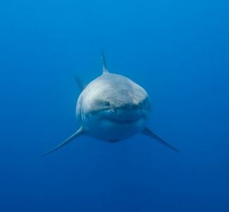 Megalodon Shark - Boca Grande Happenings Calendar